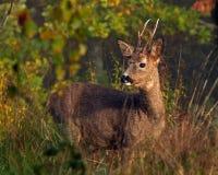 Une position de Roe Deer de mâle dans un domaine un début de la matinée photographie stock