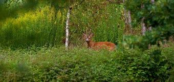 Une position de Roe Deer de mâle dans un domaine regardant la caméra photos stock