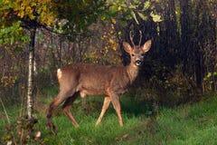 Une position de Roe Deer de mâle dans un domaine regardant la caméra image stock