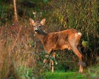 Une position de Roe Deer de mâle dans un domaine regardant la caméra photo stock
