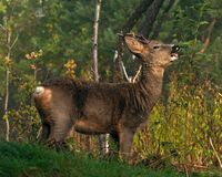 Une position de Roe Deer de mâle et manger le leavSpell Checkeres de buissons un début de la matinée images libres de droits