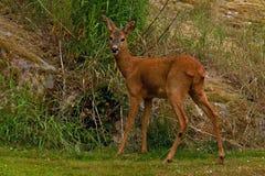 Une position femelle de Roe Deer à côté d'une falaise de roche regardant la caméra photo stock