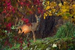 Une position femelle de Roe Deer à côté d'une falaise de roche regardant la caméra photographie stock libre de droits