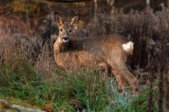 Une position femelle de Roe Deer dans un domaine regardant la caméra photo stock
