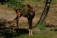 Une position femelle de Roe Deer sous un arbre regardant la caméra images stock