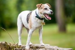 Une position plus ancienne de Jack Russell Terrier sur un tronçon d'arbre photographie stock libre de droits