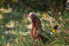 Une poule Photographie stock libre de droits