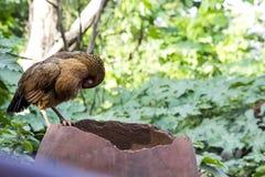 Une poule africaine picotant ses plumes Photos libres de droits