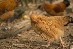 Une poule brune nettoie la plume Photo stock