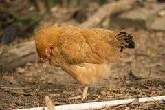 Une poule brune nettoie la plume Photos libres de droits