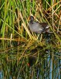 Une poule d'eau commune se tenant dans les herbes des marécages d'une Floride Image libre de droits