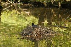 Une poule d'eau noire, sur un nid au milieu d'un lac - France Photo stock