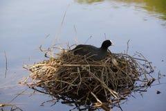 Une poule d'eau noire - vue de face - Elancourt - France Images stock