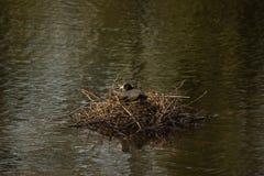 Une poule d'eau noire - vue de face - Elancourt - France Image stock