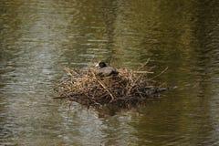 Une poule d'eau noire - vue de face - Frances Photo stock