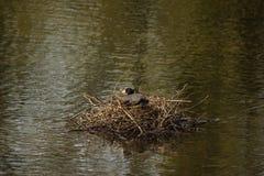 Une poule d'eau noire - vue de face - Frances Image stock