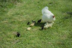 Une poule de couvée avec des poulets image libre de droits