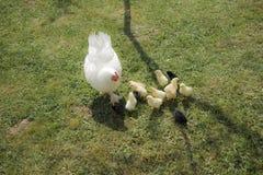 Une poule de couvée avec des poulets photo stock