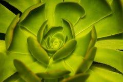 Une poule et les poussins ou la rosette ou la pierre Lotus ou le Succulent plante c Photo libre de droits