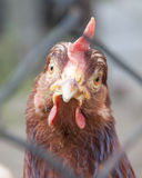 Une poule regardant fixement l'appareil-photo Photographie stock