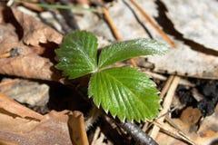 Une pousse de la fraise de forêt Images libres de droits
