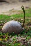 Une pousse de noix de coco Photo stock