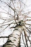Une première source dans une forêt de bouleau sans lames Photos libres de droits