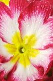 Une primevère, une fleur sur le blanc avec des baisses photographie stock libre de droits