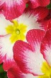 Une primevère, une fleur sur le blanc avec des baisses photos stock