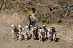 Une promenade avec mes chèvres Photo stock