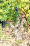 Une promenade dans l'atomn de vignes Photographie stock