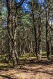 Une promenade dans la forêt de danse de pin sur la broche de Curonian, Russie image stock
