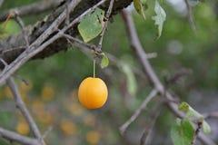 Une prune sur un branche d'arbre Photographie stock