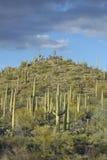 Une pyramide de cactus géant de saguaro de Sonoran Image libre de droits