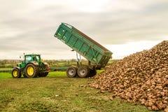 Une récolte de betterave à sucre en cours - le tracteur et la remorque déchargent des betteraves à sucre Photographie stock libre de droits
