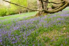 Une région boisée ouverte des arbres mûrs et un groundcover des jacinthes des bois Photo libre de droits