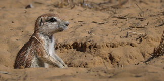 Une réservation de jeu de Kgalagadi d'écureuil moulu Photos stock