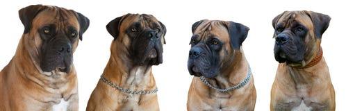 Une race rare de chien - le mastiff sud-africain de Boerboel images stock