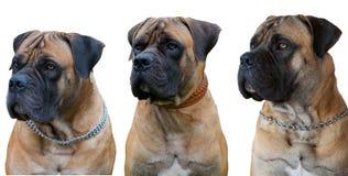 Une race rare de chien - le mastiff sud-africain de Boerboel photographie stock libre de droits