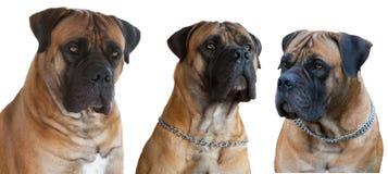 Une race rare de chien - le mastiff sud-africain de Boerboel photographie stock