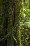 Une racine aérienne couverte de mousse enroule autour d'un tronc d'arbre dans le nuage Forest Reserve de Monteverde en Costa Rica photos libres de droits