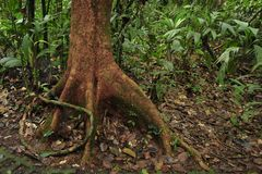 Une racine aérienne enroule autour d'un arbre dans la forêt tropicale de réservation biologique de Tirimbina image libre de droits