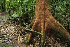 Une racine aérienne enroule autour d'un arbre dans la forêt tropicale de réservation biologique de Tirimbina image stock