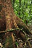 Une racine aérienne enroule autour d'un arbre dans la forêt tropicale de réservation biologique de Tirimbina photo libre de droits