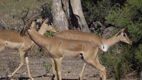 Une RAM d'impala sentant femelle clips vidéos
