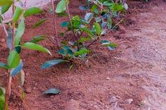 Une rangée de Photinia Robin rouge a juste planté image stock