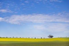 Une rangée des arbres sur un gisement de Canola avec les cieux bleus nuageux photographie stock