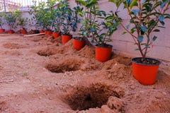 Une rangée des brins rouges de Robin de Photinia est prête à être plantée dans images stock
