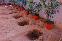 Une rangée des brins rouges de Robin de Photinia est prête à être plantée dans photographie stock