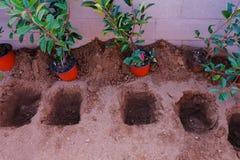 Une rangée des brins rouges de Robin de Photinia est prête à être plantée dans photo stock